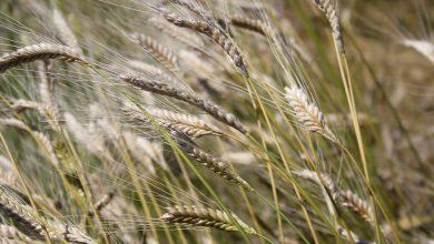 Photo of 1. IZA Buğdayı Şenlikleri Ve Tarla Günleri